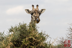 Maasai Giraffe (DragonSpeed) Tags: 28thkitsilanoscoutgroup 28thvancouverscoutgroup africa africanwildcatsexpeditions giraffacamelopardalistippelskirchi maasaigiraffe masaigiraffe safari scouts scoutscanada serengetinationalpark seroneraregion tanzania tanzaniaexpedition2018 venturerscouts venturers mammal mara tz