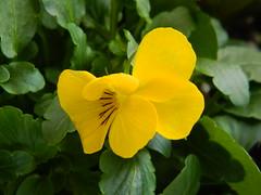 Pansies (dieter1.freier1) Tags: pansies flower yellow bright garden spring nature flora bloom vivid greenery beauty
