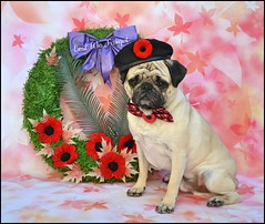 Remembrance Day Tribute (DaPuglet) Tags: pug pugs dog dogs pet pets remembrance remember lestweforget remembranceday tribute royalcanadianlegion eastview 462 branch poppy poppies wreath memorial veterans veteran soldier soldiers armedforces navy army war peace freedom respect airforce legion canada canadian november november11th bowtie beret military ottawa legioneastviewbranch jemesouviens fallen coth5 alittlebeauty