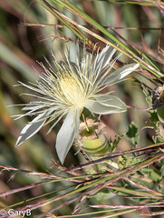 Flower and Seed Pod (garybaird) Tags: saltplanesnationalwildliferefuge oklahoma arkansasriver