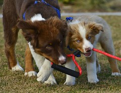 { EXPLORE #31 Sept 30 2018 Halo and Michi - my boyz} (swazileigh/ Langman Lightscapes) Tags: halo michi puppy puppies texas oklahoma australiansheperdbreeders miniaussie minatureaussie cutepuppy mansbestfriend companion dogbreeder nikon nikond800 pet pets dogwalk dogpark california