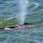 Grey Whale thumbnail