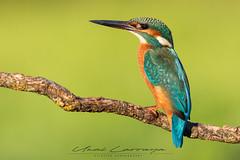 Estoy enamorado de este pequeño. (Fotografias Unai Larraya) Tags: martínpescador animales aves naturaleza navarra ngc fauna colores