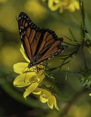MonarchButterfly_SAF9762-1 (sara97) Tags: danausplexippus butterfly copyright©2018saraannefinke insect missouri monarch monarchbutterfly nature photobysaraannefinke pollinator saintlouis towergrovepark urbanpark