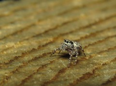 Standing on the rings of time (HeidiG71) Tags: arachtober arachnid salticidae spider jumpingspider nature wildlife
