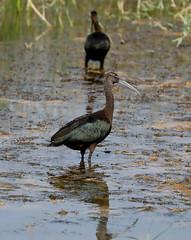 Glossy Ibis  --- Plegadis falcinellus (creaturesnapper) Tags: danubedelta romania europe waterbirds birds waders ibises glossyibis plegadisfalcinellus