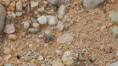 sand bear Arctosa perita lycosidae and fly indet (BSCG (Badenoch and Strathspey Conservation Group)) Tags: acm arachnid spider lycosidae arctosa bear sand diptera september