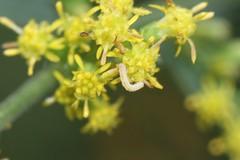 Blackberry Looper (BSendelbach) Tags: caterpillars mothcaterpillars moth larvae mothlarvae mothlarva mothcaterpillar caterpillar insects bugs