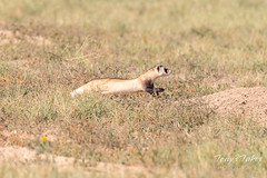Black-footed Ferret takes off on the hunt