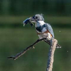 DSC_1120-Edit (craigchaddock) Tags: beltedkingfisher hollislake kumeyaaylake missiontrailsregionalpark