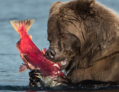 Oh yum yum!  Me wuv fresh salmon! (♞Jenny♞) Tags: specanimal hats over top