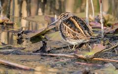 Bécassine sourde (DorianHunt) Tags: birds bokeh jacksnipe champittet switzerland 2018 october sigma nikond500 150600mm