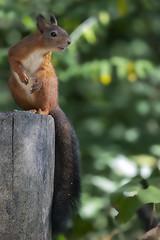 """Il folletto del bosco (""""Marco50"""" Marco Mattei) Tags: bridgepreferenceslabelpurpleto do scoiattolo bosco folletto canon5dmkiv scoiattolorosso rosso"""