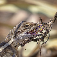lagoon creek - nobbi dragon lunch (Fat Burns ☮ (gone bush)) Tags: nobbidragon lizard australianlizard dragon australiandragon fauna australianfauna nature nikond500 d500 nikon200500mmf56eedvr lagooncreek barcaldine outdoors wildlife australianwildlife lagooncreekbarcaldine qld australia diporiphoranobbi