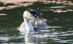 Great crested grebe with perch (Lancs & Lakes Outback Adventure Wildlife Safaris) Tags: nikon d7200 tamron 600mm bird fish grebe greatcrestedgrebe crest fins lancashire stanleypark