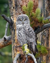 The look (jrlarson67) Tags: great gray grey owl yellowstone nationalpark hunting portrait predator birdofprey raptor