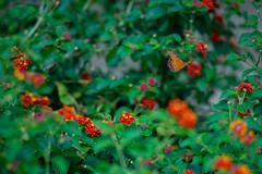 Butterfly (Phet Live) Tags: phet live butterfly lantana sony a7 leica 135mm f28 elmarit