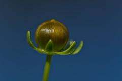 Tickseed Opening (pstenzel71) Tags: blumen natur pflanzen tickseed mädchenauge coreopsis bud flower darktable bokeh