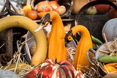 Pumpkin Display 26/31 (John Penberthy ARPS) Tags: 2631 pictureaday nikon nationaltrust pumpkin cambridge display wimpoleestate d750 johnpenberthy