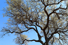 Tree at Parfuri - South Africa (lotusblancphotography) Tags: africa afrique southafrica afriquedusud nature plante plant tree arbre