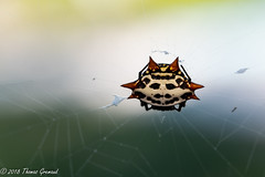 Spiny Orb Weaver (Thomas Gremaud) Tags: web spider spikes bug spottedorbweaver black white aracnid red