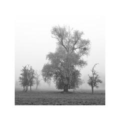 cold... (geraldkoenigsohn) Tags: minimalistic eifel fujixt1 germany misty mystic trees mist fog monochrome bw bnw blackandwhite