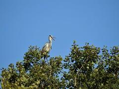 Héron cendré (chriscrst photo66) Tags: bird animal oiseau héron cendré ciel arbre peuplier lac nikoncoolpixp900