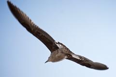 Seagulls 07 (pan_orama) Tags: marokko maroc morocco essaouira beach harbour seagulls fish sun color travel