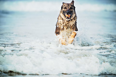 (9/12) Saxon ~ splash dash (Clicking Mad) Tags: saxon gsd dog beach chuckit ball retrieve waves happy layered psedit 12monthsfordogs