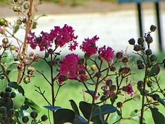 Crape Myrtle Blossoms. (dccradio) Tags: lumberton nc northcarolina robesoncounty outdoor outdoors outside nature natural flower floral plant crapemyrtle crepemyrtle pink leaf leaves foliage greenery flowering floweringtree tree september latesummer earlyfall earlyautumn tuesday afternoon canon powershot elph 520hs bokeh grass bud budding buds