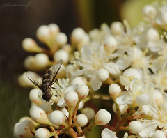 Unknown Fly (blackcatcraft) Tags: insects garden flower macro fly