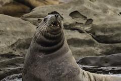 steller sea lion-7140 (pmbell64) Tags: capitalg britishcolumbia canada ca