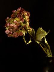 Hydrangea (Kaska Ppp) Tags: flower flowers flowersphotography flora fleur floral nature naturephotography natur natura hydrangea stillife
