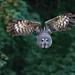 auf Crashkurs (Mel.Rick) Tags: tiere animals zoo wildpark tierpark bartkauz vogel greifvögel eule wildparklüneburgerheide strixnebulosa