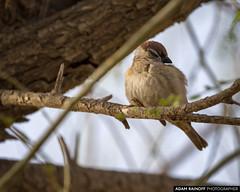 Juvenile Eurasian Tree Sparrow Zhangye Gansu China (arainoffphoto) Tags: birding gansu travel bird birds park wetland tourism china zhangye zhangyeshi gansusheng cn