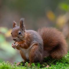Rode Eekhoorn (Luciën Reyns) Tags: redsquirrel rodeeekhoorn pentaxk1 pentaxhddfa150450mm clingsebos boshutclinge gemeentehulst zeeuwsvlaanderen zeeland netherlands nederland