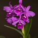 C. bowringiana 'San Diego' – Helge Weissig