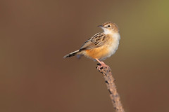 zitting cisticola (leonardo manetti) Tags: uccello bird nature sunset red winter colours naturephotography field natural nikkor countryside green zitting cisticola macro albero animale nikon