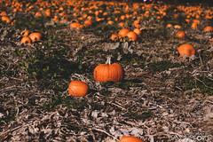 PYO Pumpkins - Beluncle Farm, Kent (Dan Mumford) Tags: halloween pyopumpkins belunclefarm rochester kent pyopumpkin pyo pickyourown pickyourownpumpkins pickyourownpumpkin october october31st october31 pumpkins pumpkin halloween2018 farm neverseensomanypumpkins pumpkinpicking nature england pumpkinspice autumn fall pumpkinseason danmumford danielmumford canoneos50d canon canon50d 50d danmumfordphotography 2018 mumfordinc danmumfordcom mumfordinccom beluncle
