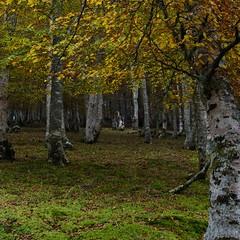 Bosque de abedules en otoño en Cantabria (VILO Image) Tags: bosque abedul otoño cantabria pejanda