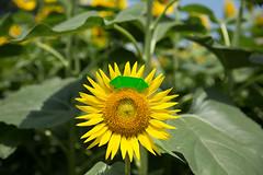 Pig and Sunflower (Eridanus 21) Tags: pig sunflowerブタとヒマワリ sunflower origamipig おりがみ ブタ ヒマワリ 折り紙 花 flower flowerphoto 花写真ブタ origami 花写真 花が好き