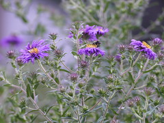 More asters from my garden (lovesdahlias 1) Tags: asters flowers blossoms gardens fall nature newengland