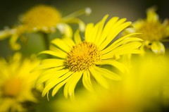 Little sunshine (Martin Bärtges) Tags: makro makrofotografie macrophotography macro autumn herbst herbstfarben pflanzen plants farbenfroh colorful d7000 nikonphotography nikon nikonfotografie gelb yellow naturephotography naturfotografie natur nature blüten blumen flowers outside