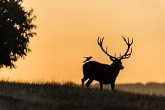 Morning Mist (GP in Greece for a week) Tags: richmondpark deer sunrise goldenlight silhouette bird ngc
