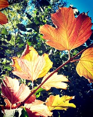 autumn colours  at sunshine are  more colourful! (eikeblogg) Tags: autumn nature seasonal leaves colors natureza hojas colores mobileartistry mobilephotography local eifel mypicture ngc