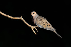 Mourning Dove (Zenaida macroura), Williamson County, Tennessee (kmalone98) Tags: mourningdove wildlife dovesandpigeons columbidae zenaidamacroura aves