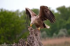 Aquila di mare _026 (Rolando CRINITI) Tags: aquiladimare aquila uccelli uccello birds rapaci periprava tulcea romania ultimafrontiera deltadeldanubio natura