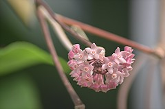 Pink Hoya cluster (jungle mama) Tags: hoya pink cluster stem leaf windowstothetropics fairchildtropicalbotanicgarden fairchildgarden susanfordcollins coth5