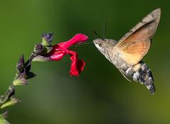 Hummingbird Hawk Moth (4 of 4) (ianrobertcole1971) Tags: humming bird hawkmoth insect moth invertebrate macro nikon d7200 300mm f4