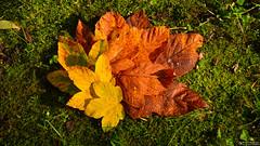 The gold colours of autumn (Szymon Simon Karkowski) Tags: outdoor leaf leafs gold colour autmun grass grasland park nature silesian voivodeship gliwice poland nikon d7100